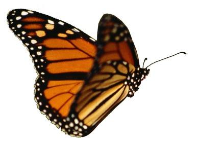 butterfly-nolegs-21.jpg